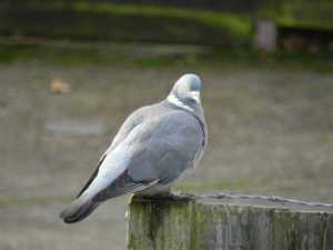 2 Live Back Yardbirds Wood Pigeon