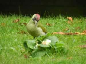 5 Live Back Yardbirds Green Woodpecker